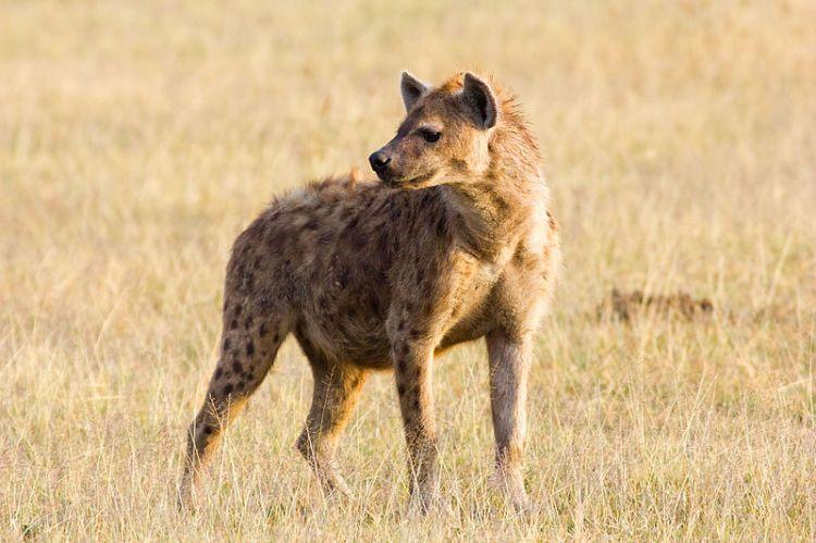 Ngorongoro_Crater_Hyena