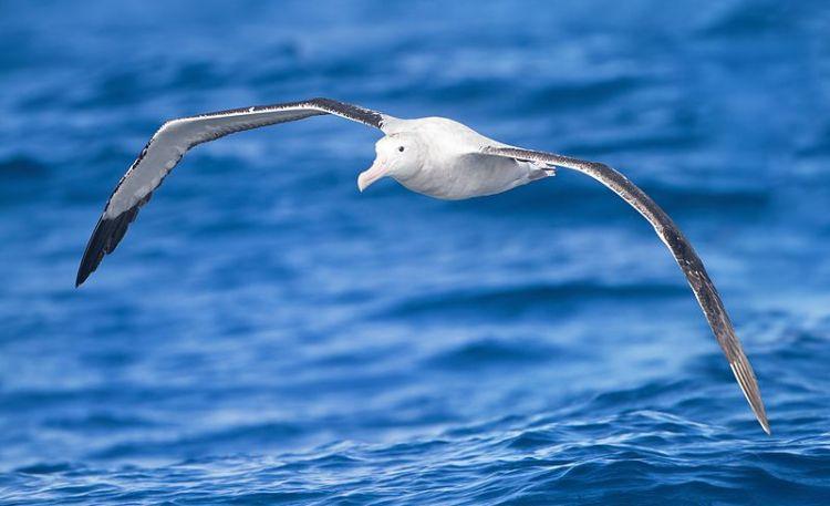 The_Albatrose_Tasmania