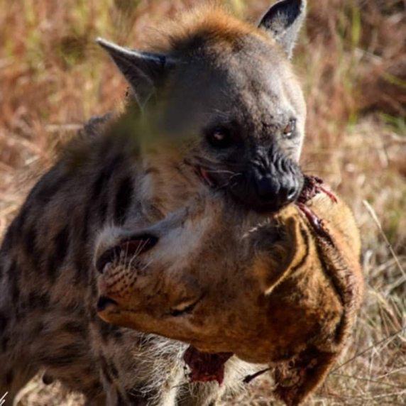 hyena with lion head