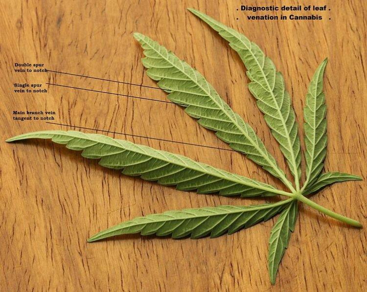 753px-cannabis_sativa_leaf_diagnostic_venation_2012_01_23_0829_c-1410740633.jpeg